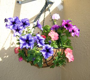 Balcony Gardening - Hanging Planter with Petunias