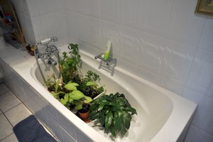 Indoor Gardening Tips - Vacation Watering in the Bath