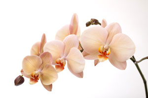 Indoor Orchid Gardening, Moth Orchid (Phalaenopsis)