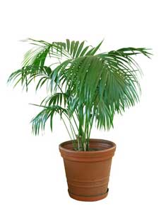 Indoor Palm Plants http://www.beginner-indoor-gardening.com/indoor-palm-trees.html
