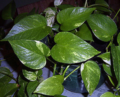 Pothos Plant (Devil's Ivy), Courtesy DianesDigital at Flickr