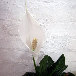 Tropical house plants your easy growing friends beginner indoor the peace lily is an attractive plant with dark glossy leaves producing lovely white flowers its very easy to grow and can deal with relatively low mightylinksfo