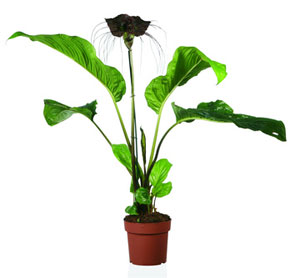 Unusual house plants black bat plant